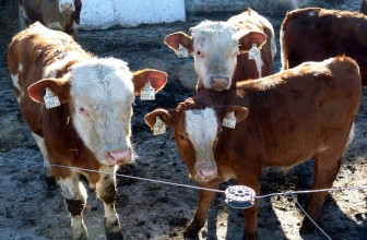 PRECONDITIONING IMPACTS FEEDLOT PERFORMANCE