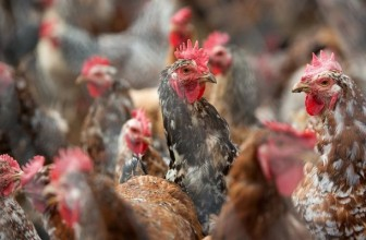 Proudly SA supports dti call for proper chicken labeling, calls on SA to buy local chicken