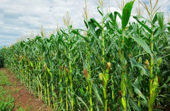 A record maize season but the weather is still concerning in parts