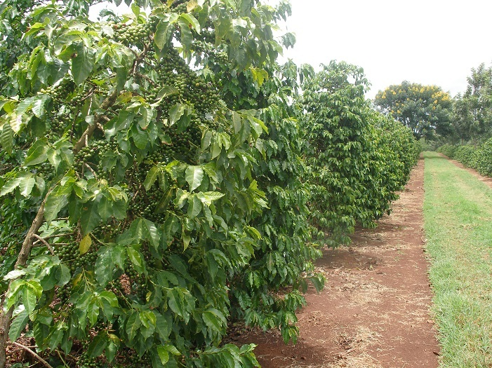 Omex Calmax gets calcium into coffee beans