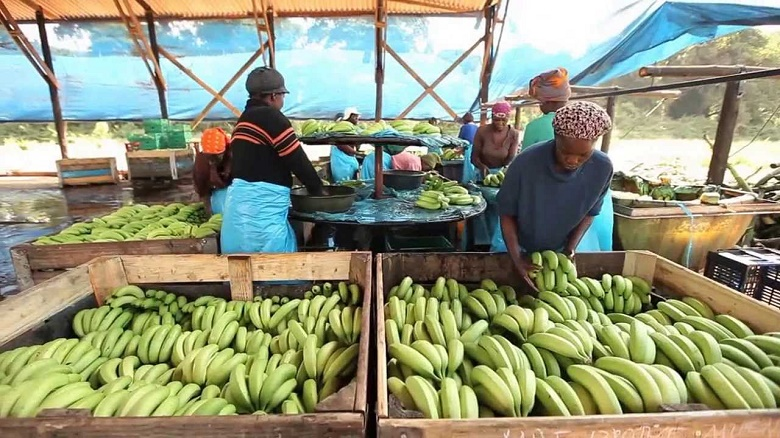 Banana production up but little forex generated