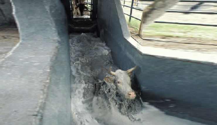 Theileriosis outbreak : Farmers not keen on dipping