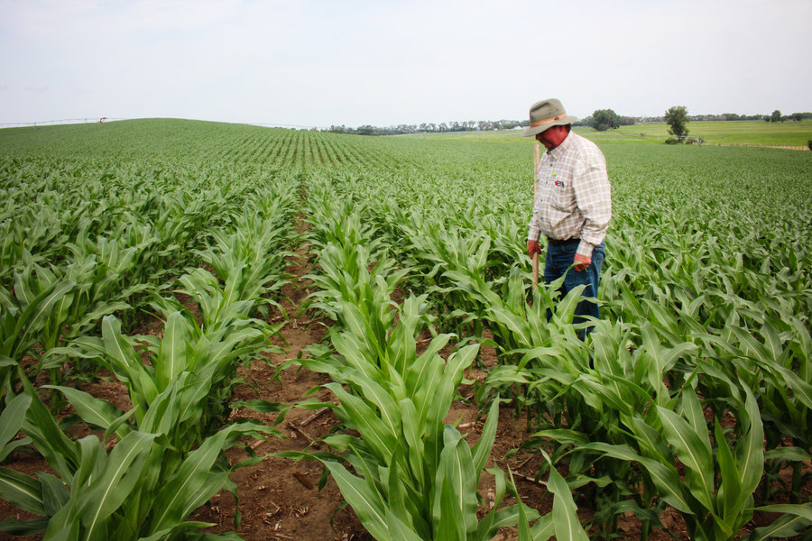 France makes efforts to better market its maize seeds.