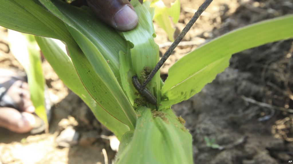 Farmers fret over fall armyworm outbreak
