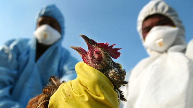 US$500 000 to fight avian flu and fall army-worm in Zimbabwe