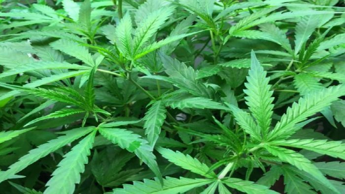 Zimbabwe : Cannabis production to revamp agricultural sector