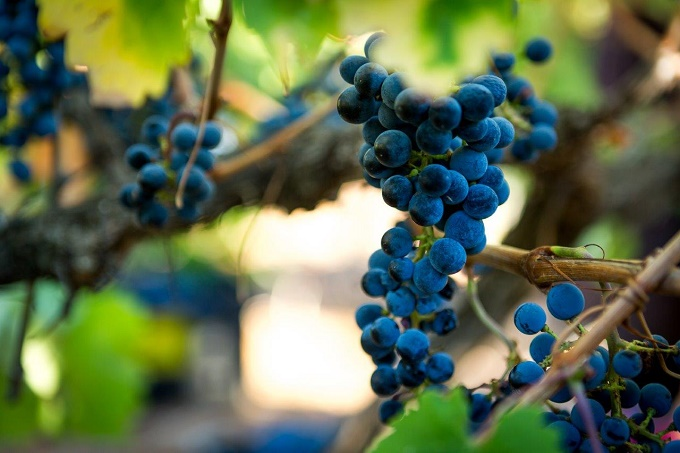 SMALLER 2018 WINE GRAPE HARVEST DELIVERS PROMISING QUALITY