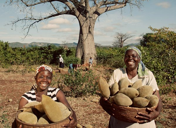 The baobab tree and its various uses