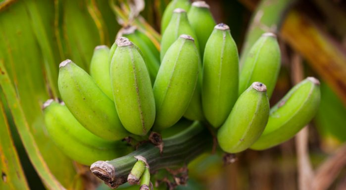 Banana wilt; modes of transmission, prevention and control measures