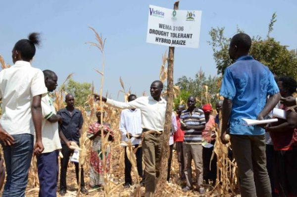 Homegrown African seed companies outperform multinational peers in serving smallholder farmers