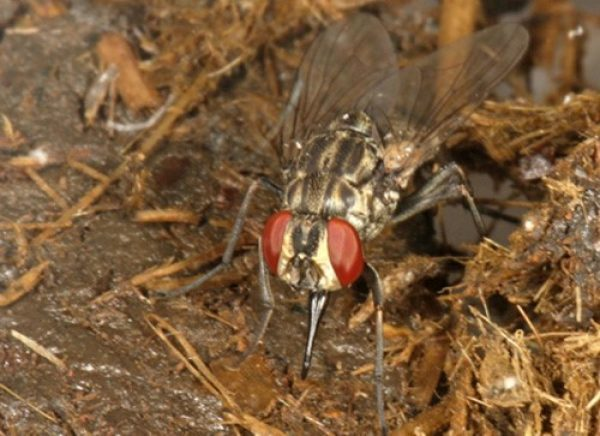 New knowledge on how stable flies choose the best sites to lay their eggs could lead to trapping baits for the insect