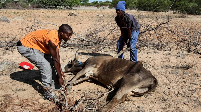 10,500 heads of cattle in Zimbabwe succumb due to lack of pasture and drinking water