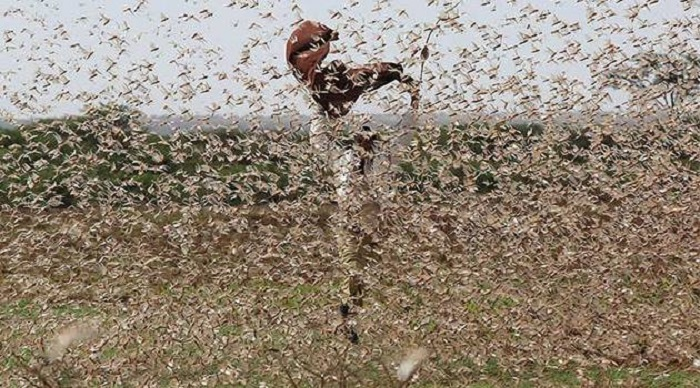 East Africa under threat of unyielding locust invasion