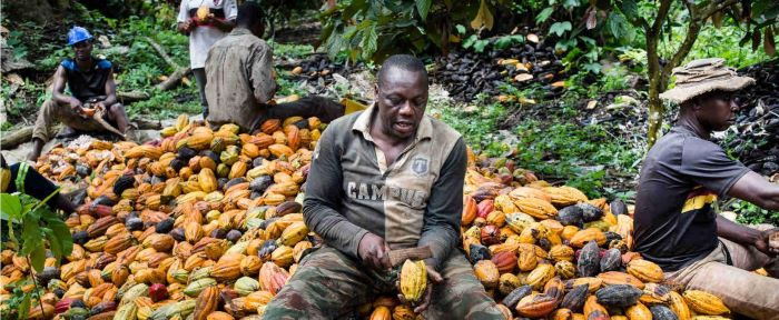 In Cameroon, new seed varieties help cocoa crops bloom and farmers thrive