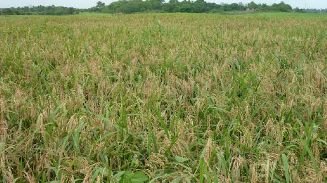 Nigeria's rice export plans threatened by insecurity