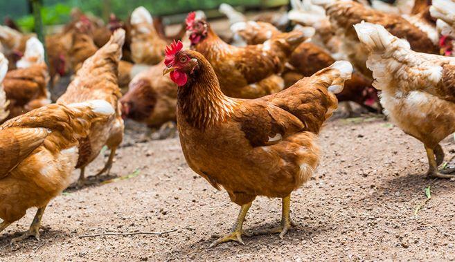 Saai wins exports case for bird farmers