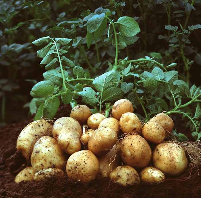 Kenyan government launchers potato seed multiplication program to address shortages