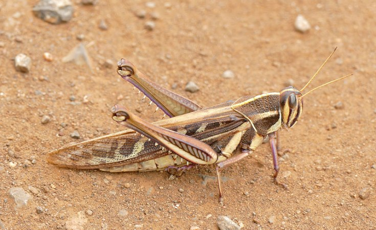 Namibian government seeks US $2m to contain locust outbreak