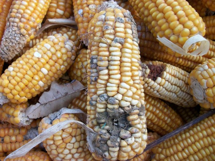 IITA, EAGC partner to tackle aflatoxin contamination in grains