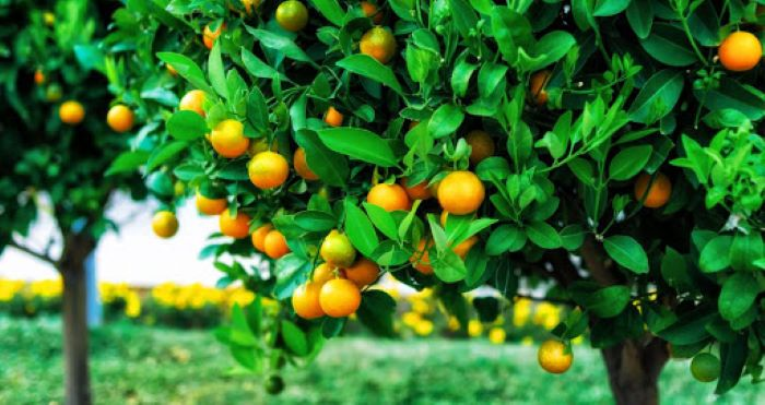 East Africa's citrus industry in jeopardy