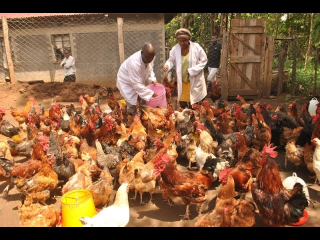 Government of Kenya partners with World Bank to upgrade poultry farming in the country