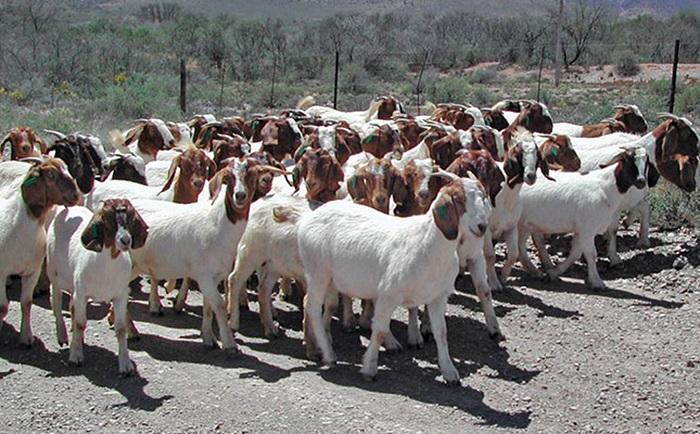 Goat farming in Zimbabwe