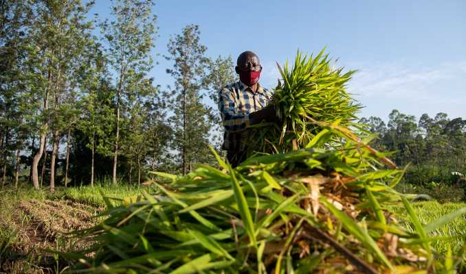 Kenya Dairy farmers double income and milk yields with climate-smart fodder grasses