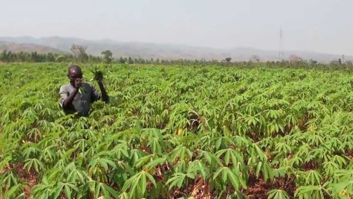IITA, NASC, NRCRI to meet farmers' demand of over US $26.32m on cassava stems