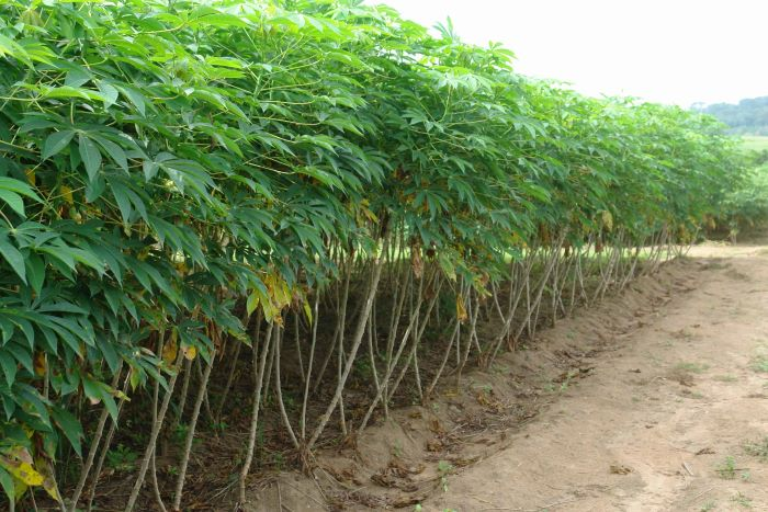 Nigeria comes out on top as the premier cassava producer globally