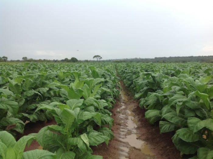 Zimbabwe's Voedsel targets US $75m in tobacco sales