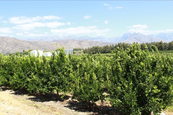 Citrus plantings increase wine producer's profitability