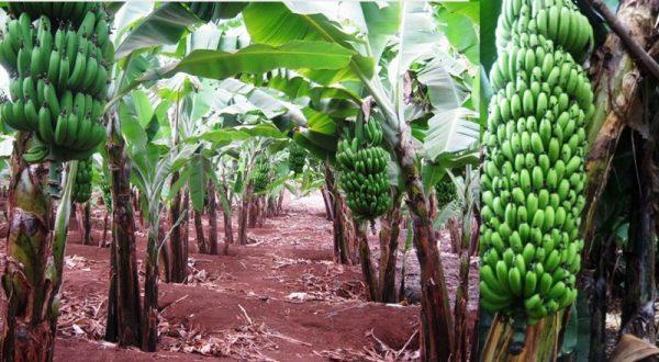 Uganda, Tanzania develop drought tolerant and disease resistant banana hybrids