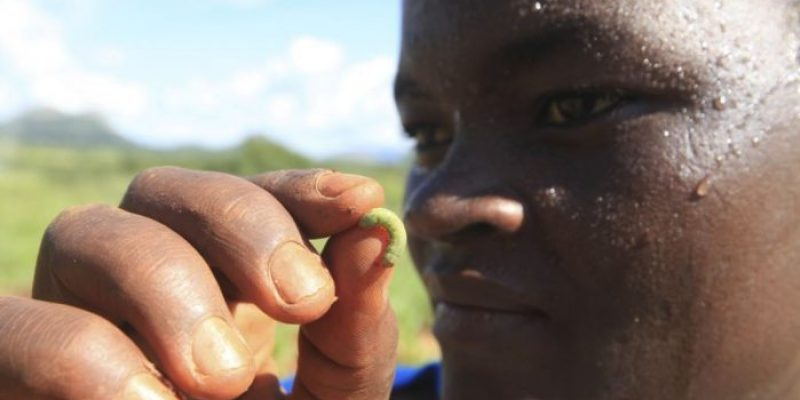 Zimbabwe declares fall armyworm a threat to National food security