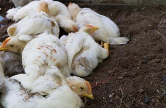 Avian Influenza : Threat over in Zimbabwe but on high alert