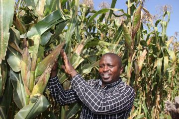 Kenyan maize farmers to get a bumper harvest of 46m bags of maize