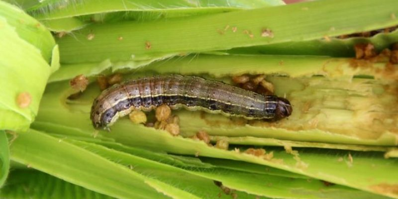 USAID offers $150,000 reward for tackling Armyworm menace