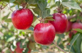 FLASH GALA ™ set to disrupt the fruit industry