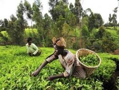 Aflatoxins stand-off cuts Kenyan tea exports to Pakistan by half