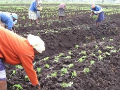 Do Women Perform the Bulk of the Work in African Agriculture?