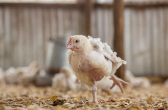 Common mistakes to avoid in poultry farming
