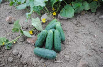 What is South Africa's Position in Global Cucumber Production?