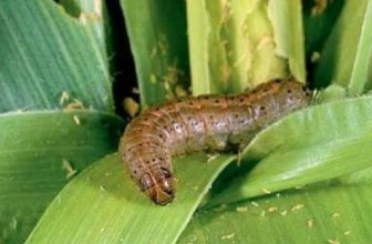 Produce cheaper chemicals for fall armyworm control